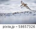 飛び立つトウネン(北海道・コムケ湖) 58657326