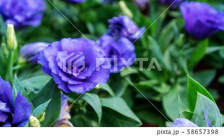 Violet Lisianthus flower in a garden. 58657398