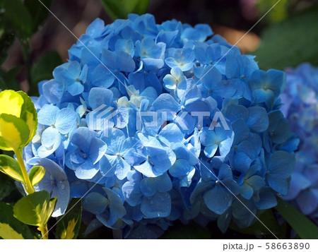 ブルーのアジサイ 58663890
