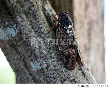 藤の木にとまったアブラゼミ 58664623
