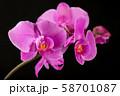 Flower arrangement of orchids. 58701087