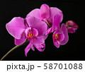 Flower arrangement of orchids. 58701088
