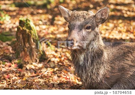 奈良公園の鹿 58704658