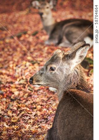 奈良公園の鹿 58704664
