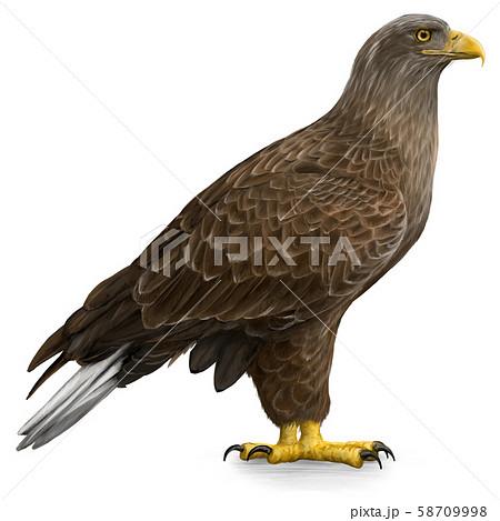オジロワシ(White-tailed eagle)のイラスト 58709998