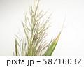 ダンチク 58716032