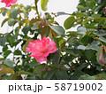 薔薇 58719002