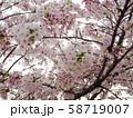 桜 58719007
