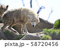 【オオカミ】シンリンオオカミ 58720456