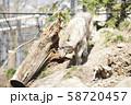 【オオカミ】シンリンオオカミ 58720457