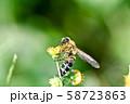 キンケハラナガツチバチ 58723863