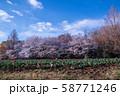 桜の季節 チューリップ 大宮花の丘農林公苑 さいたま市 58771246
