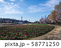 桜の季節 チューリップ 大宮花の丘農林公苑 さいたま市 58771250