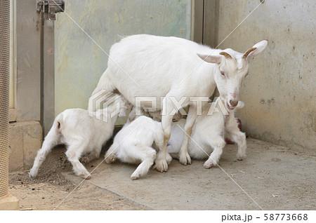 子どもに授乳するヤギの母親 58773668