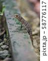 マヌエルアントニオ国立公園のトカゲ 58776117