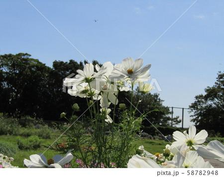 秋の花コスモスの白色の花 58782948
