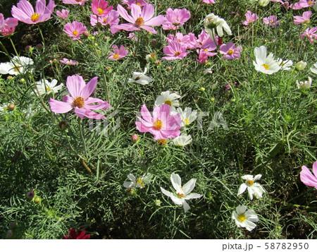 秋の花コスモスの桃色と白色の花 58782950