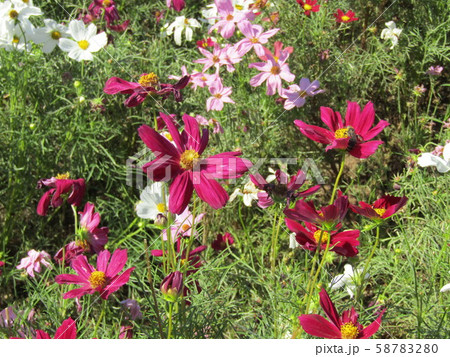 秋の花コスモスの赤色と白色と桃色の花 58783280