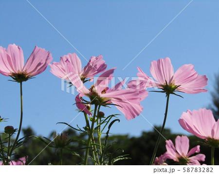 秋の花コスモスの桃色の花 58783282