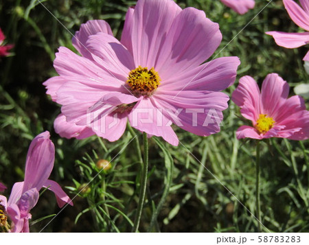 秋の花コスモスの桃色の花 58783283