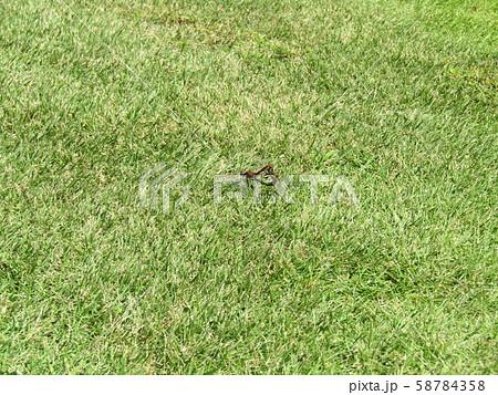 トンボの交尾の写真が撮れました 58784358
