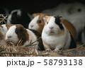 動物園のモルモット 58793138