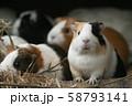 動物園のモルモット 58793141