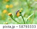 ヒメハラナガツチバチ 58793333