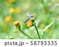 ヒメハラナガツチバチ 58793335