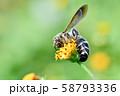 ヒメハラナガツチバチ 58793336