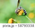 ヒメハラナガツチバチ 58793338
