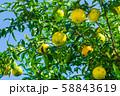 柚子 柚子の木 58843619