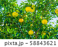 柚子 柚子の木 58843621
