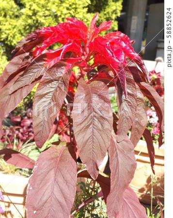 葉っぱの綺麗なコリウスの赤い葉っぱ 58852624