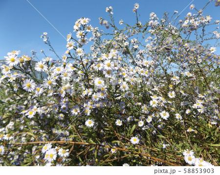 花の色がピンクに変化すると言うゲンペイコギクの白い花 58853903
