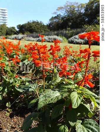 真っ赤な赤い花はサルビアの花 58853905