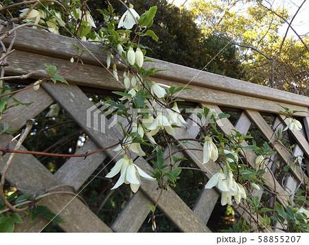 クレマチスシルホサの白い花 58855207