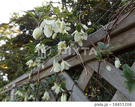 クレマチスシルホサの白い花 58855208