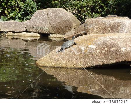 稲毛海浜公園の池に亀さん 58855212