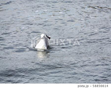 花見川河口の白い鳥はウミネコ 58856614