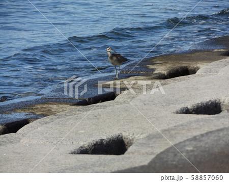 検見川浜の岸壁に一休みのチュウシャクシギ 58857060
