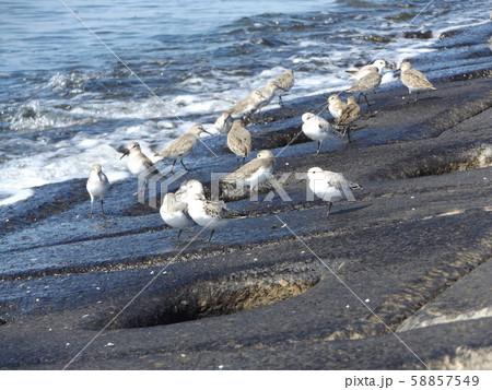 検見川浜の海岸で給餌をするミユビシギ 58857549