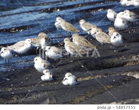検見川浜の海岸で給餌をするミユビシギ 58857555