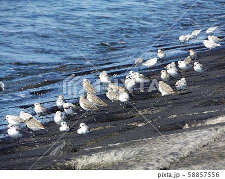 検見川浜の海岸で給餌をするミユビシギ 58857556