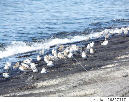 検見川浜の海岸で給餌をするミユビシギ 58857557