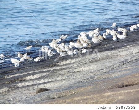 検見川浜の海岸で給餌をするミユビシギ 58857558