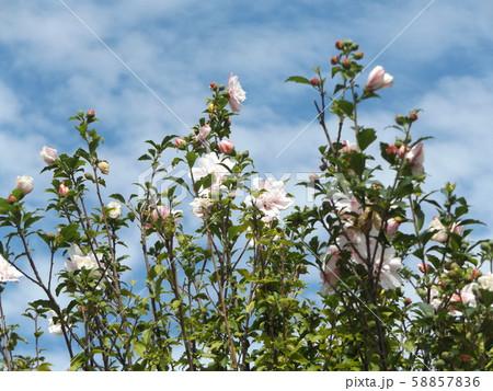 韓国の国の花ムクゲの白い花 58857836