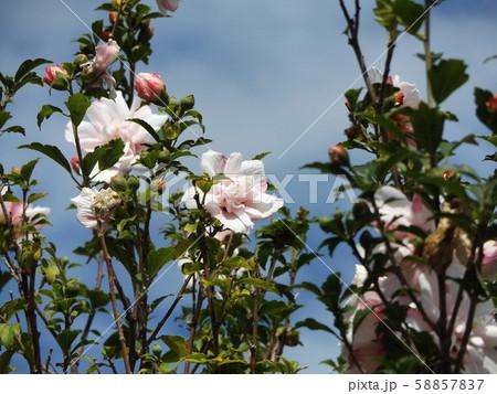 韓国の国の花ムクゲの白い花 58857837