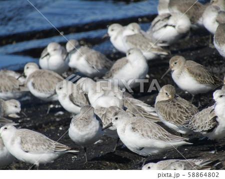 検見川浜の岸壁で給餌が終わって一休みのミユビシギ 58864802