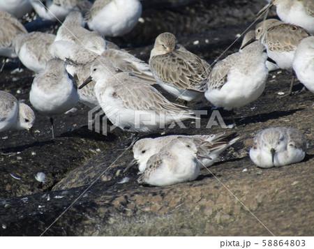 検見川浜の岸壁で給餌が終わって一休みのミユビシギ 58864803